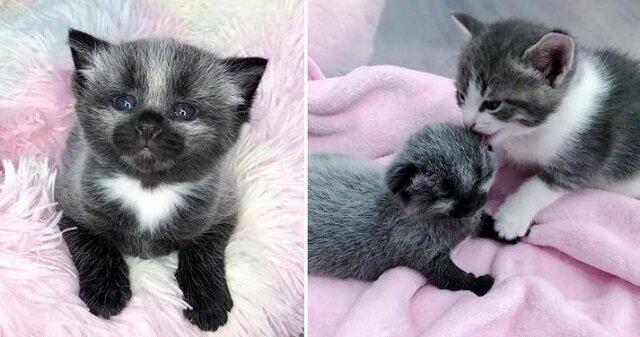 Kotek o niecodziennym umaszczeniu zaczął przygody od pierwszych dni życia
