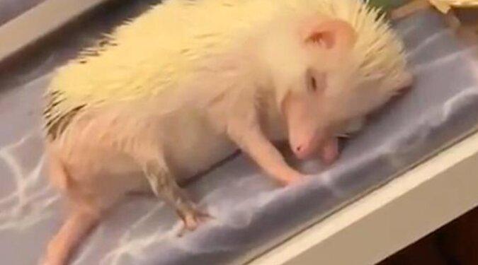 Wideo: jeże odmówił poczęstunku na koszt snu