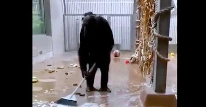 Szympans czyścioch przeprowadził ogólne sprzątanie w swojej wolierze i umył okna. Wideo