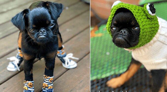 Wiecznie niezadowolony pies Chico stał się gwiazdą Internetu. Jest taki zabawny