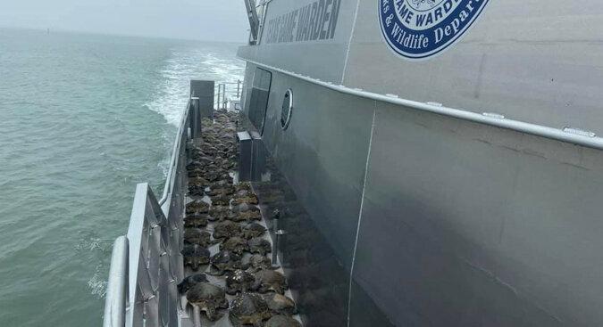 Tysiące żółwi morskich jest ratowanych w Teksasie z powodu silnych mrozów