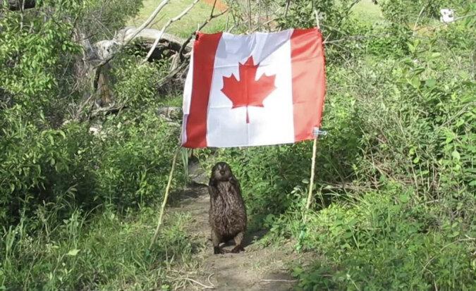 Bóbr kradnie flagę Kanady: wideo