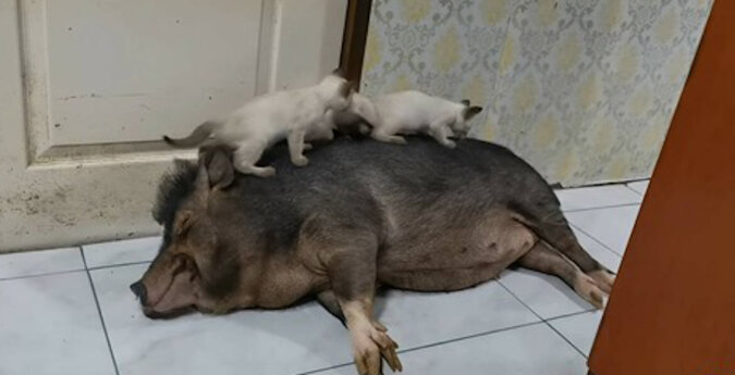 Kocięta bawią się na śpiącej świni. Wideo