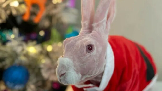 """""""On nie jest wadliwy"""". Chcieli uśpić łysego królika, ale uratowało go dobre serce"""