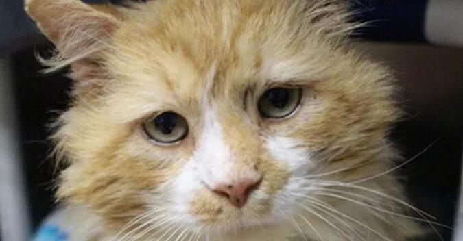 Kot przeszedł 20 km w poszukiwaniu właścicieli, którzy go porzucili