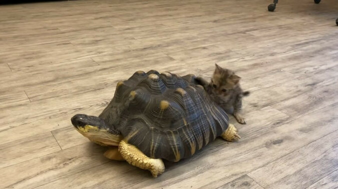Kotek się przejechał na żółwiu. Wideo
