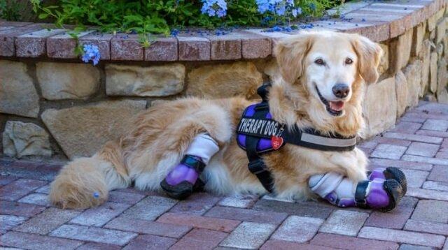 Aporter Chi-Chi nie ma nóg, ale jest najbardziej znanym psem terapeutycznym w Los Angeles