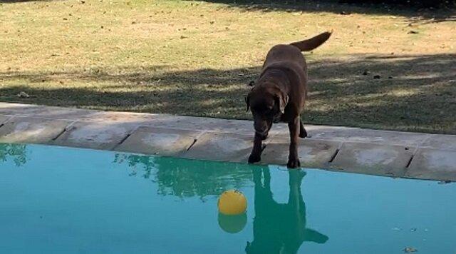 Pies upuścił piłkę do basenu, ale nie zamierza zmoknąć, aby go dostać. Wideo