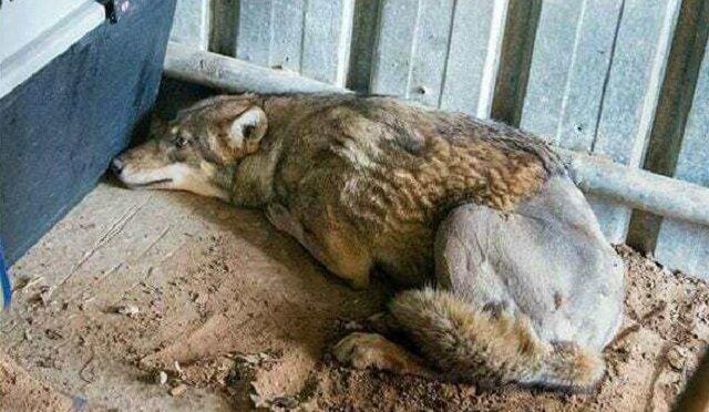 Mężczyzna zdecydował uratować wilka, który leżał w rowie w skutek potrącenia przez samochód. Zobaczcie co się wydarzyło później