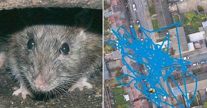 Szczur zabrał od kota nowoczesny lokalizator GPS i zorganizował szalony rajd