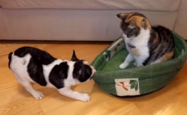 Reakcja psa rozbawi gdy bardzo uparty kot nie chce opuścić posłania psa