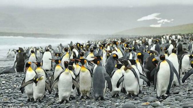 Po raz pierwszy w historii fotograf znalazł żółtego pingwina. Dlaczego ma ten kolor?