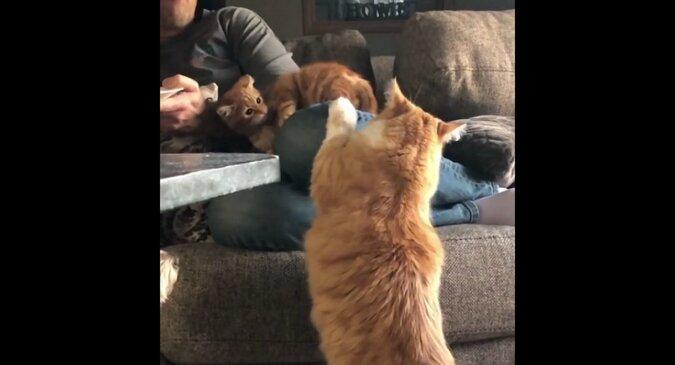 Kotka uczy puszystego syna dobrych manier przed jedzącym właścicielem. Zabawny filmik