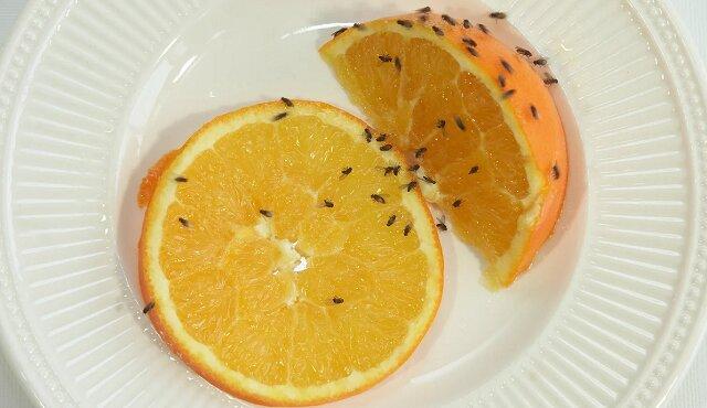 Jak się pozbyć raz na zawsze muszek owocówek? Zobacz