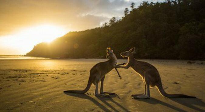 """""""Tak po ludzku"""": kangur podziękował chłopakom za uratowanie z zimnej wody"""