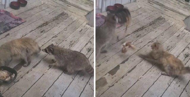 Szop pracz podkradł się do kota, gdy ten jadł spokojnie kolację i ukradł mu miskę. Wideo