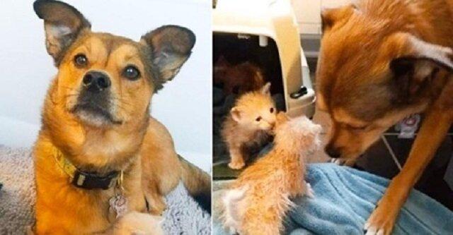"""Pies nie mógł przejść obok porzuconych kociąt i teraz jest ich """"adoptowanym tatą"""""""