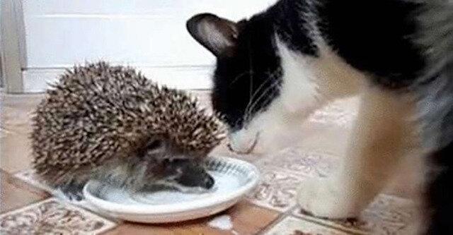 Chciwy jeż i uparty kot: kto wygrywa?