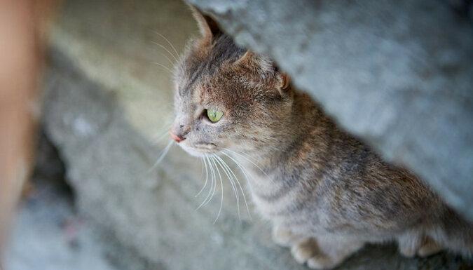 Troskliwa kotka chroni świnki morskie przed kotem sąsiada. Wideo