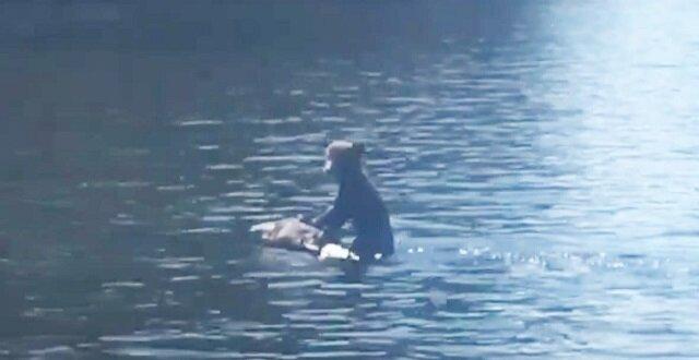 Na kanadyjskiej rzece uwagę turystów zwróciła niedźwiedzica pływająca z niedźwiadkiem uwieszonym na szyi