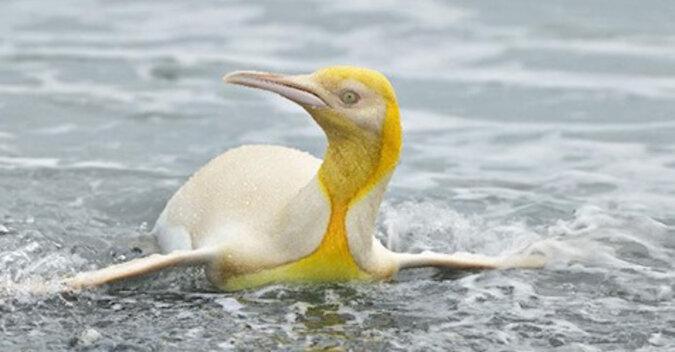 Jedyny w swoim rodzaju żółty pingwin po raz pierwszy na zdjęciach