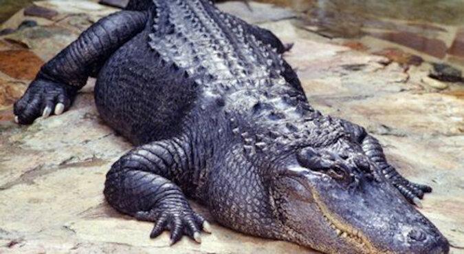 Dymił się, ale żuł: surowy aligator złapał dron podczas filmowania