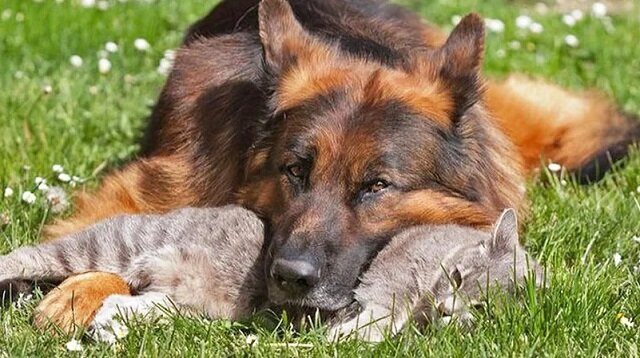 Pies, który ganiał kota przez całe życie, się zestarzał. Kot zaczął podchodzić do niego i pocieszać starego przyjaciela