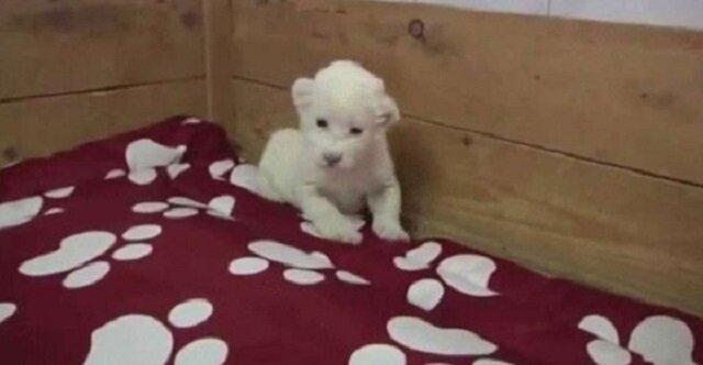 Uroczy filmik o tym, jak małe białe lwiątko uczy się warczeć