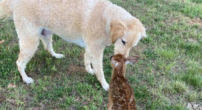 Dzielny pies wyciągnął tonącego małego jelonka z jeziora i przekazał go mamie. Ale tamten wrócił