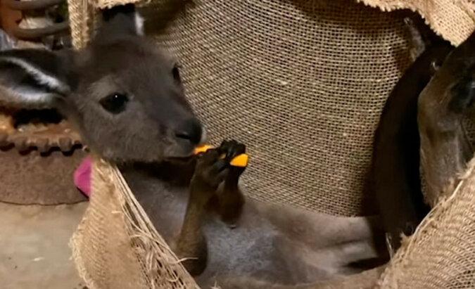 Bez pomocy ludzi mały kangur o imieniu Luna prawdopodobnie nie miałby szansę przeżyć zostając bez matki