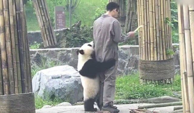Panda zdecydowała, że dozorca powinien się z nią bawić. Więc nie pozwala mu opuszczać zagrody