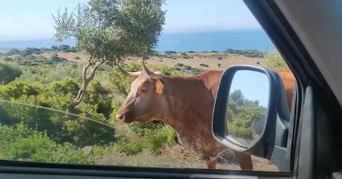 Hiszpańska krowa wskazała drogę kierowcy. Wideo