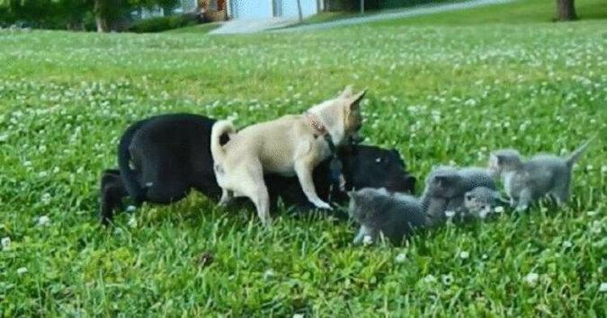 Mały Chihuahua o imieniu Charlie uratował kocięta przed dużym psem