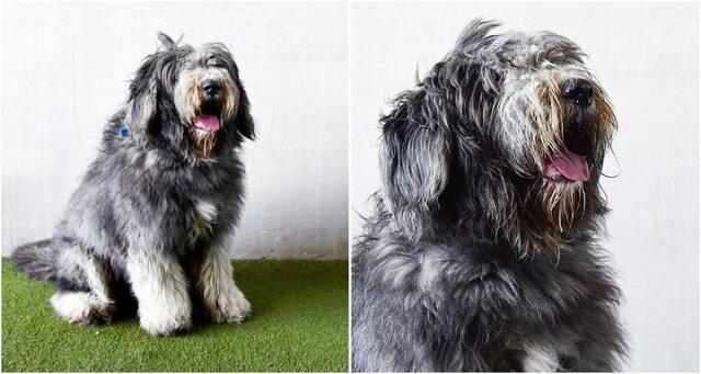 Prawie 2 kilogramy sierści zostały ścięte z tego psa. Teraz nie poznasz tego przystojniaka