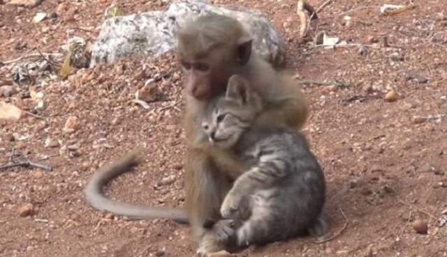 Mała małpka złapała kotka i próbuje zaciągnąć go na drzewo i umieścić w swoim legowisku