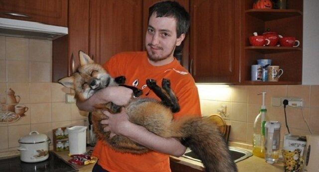 Mężczyzna zabrał chorego lisa z hodowli na furto i teraz to naprawdę piękny lis