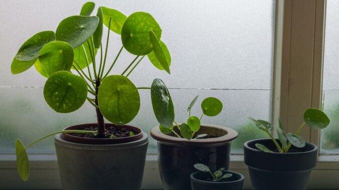 Ta roślina doniczkowa bije rekordy popularności. Wszystko z jednego powodu