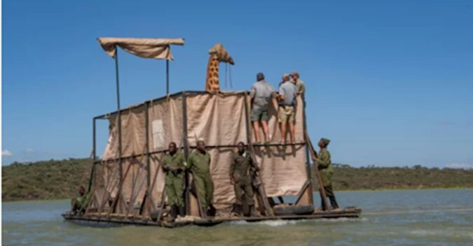 Aby uratować uwięzione żyrafy, zbudowano specjalną barkę