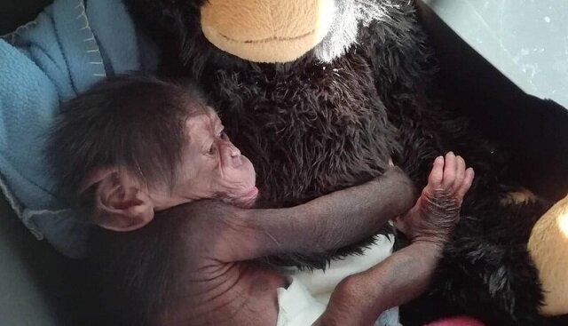 Pluszowa małpka chwilowo zastąpiła matkę porzuconemu małemu szympansowi