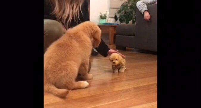 Golden retriever był zazdrosny o swojego właściciela o szczeniaka-zabawkę. Wideo