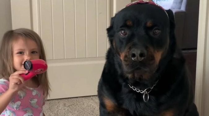 Niewzruszony Rottweiler stał się nieświadomym klientem małej stylistki. Wideo