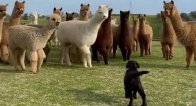 Zabawna reakcja alpak na szczeniaka