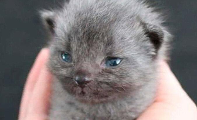 Kobieta uratowała szarego kociaka, ale kolor jego futra zaczął się zmieniać