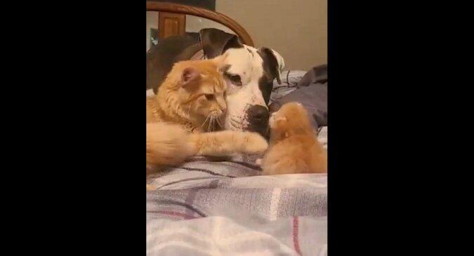 Mama-kotka przyprowadziła kotka na spotkanie z pitbullem. Wzruszające wideo