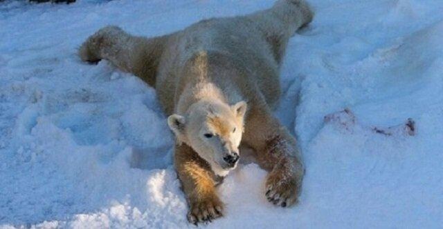 Niesamowita reakcja niedźwiedzi polarnych na śnieg. Do Zoo w San Diego przywieziono 26 ton śniegu