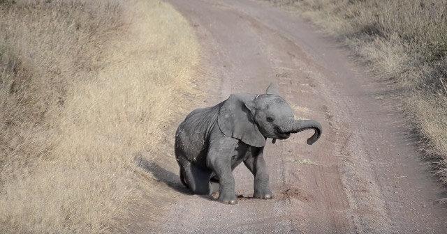 Czy widziałeś, jak słoniątka złoszczą się na swoich rodziców?