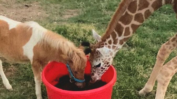 Przyjaźń żyrafy i małego konika zadziwiała internautów. Wideo