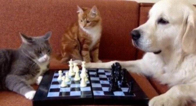 Kot i pies usiadły do gry w szachy, ale w sprawie interweniował puszysty sędzia. Wideo