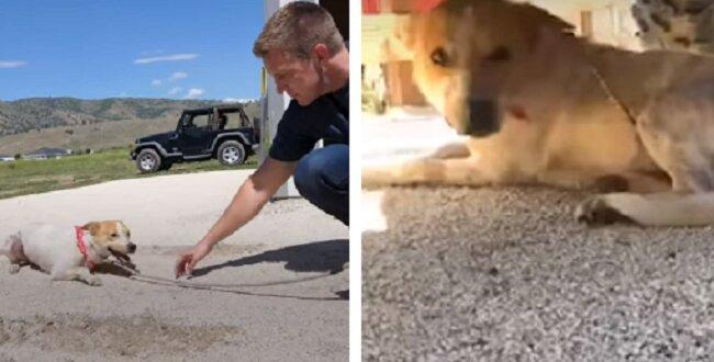 Niezwykła przemiana psa, który był tak przerażony, że kompletnie nie machał ogonem gdy go znaleźli. Zobacz