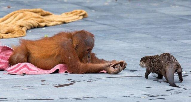 Przyjaźń rodzin: w belgijskim Zoo rodzina orangutanów zaprzyjaźnia się z rodziną wydr
